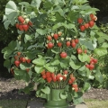 Strawberry Planters - Save £'s when you purchase them with strawberry plants