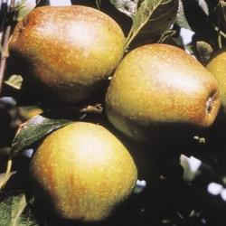 Apple Tree 'Adam's Pearmain'  (Late)