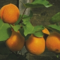 Fan Trained Apricot 'Alfred'