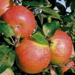 "Apple Tree ""Bright Future"" (Late)"