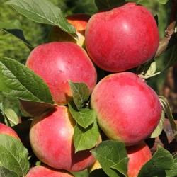 Apple Tree 'Eden™'* (Late)