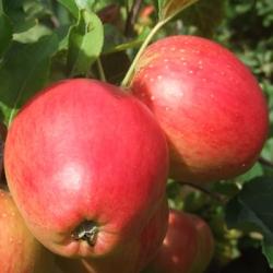 Apple Tree 'Little Pax®'* (Late)