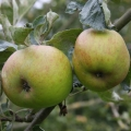 Apple Tree 'Ribston Pippin' (Late)