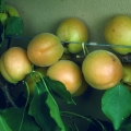 10% Off Apricot Trees