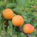 Apricot 'Compacta®'*