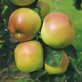 Minarette® Apple (Early) 'Arthur Turner'
