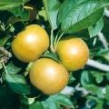 Apple Tree 'Ashmead's Kernel'  (Late)