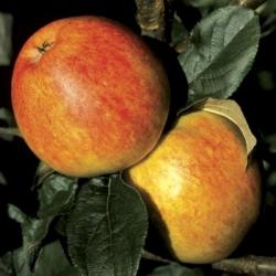 Apple Tree 'Bardsey' (Mid Season)