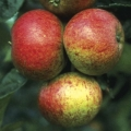 10% Off Selected Apple Trees