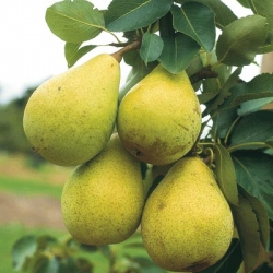 Pear 'Beth' (Early Season)