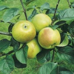 Apple Tree 'Blenheim Orange' (Late)