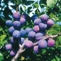 Plum Tree 'Blue Tit'