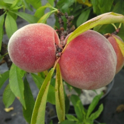 Patio Peach 'Bonanza'