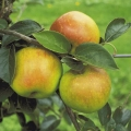 Minarette® Apple (Late) 'Bountiful'