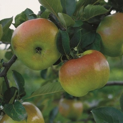 Stepover Trained Apple 'Bramley 20'