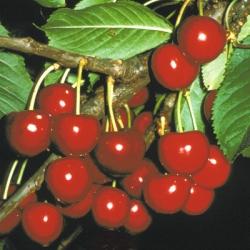 Cherry Tree 'Celeste'*
