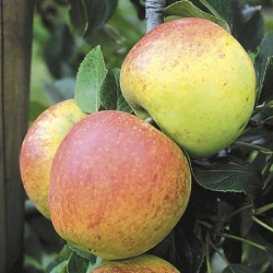 Apple Tree 'Charles Ross' (Mid)