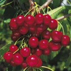 Minarette® Cherry 'Cherokee'