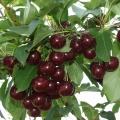 Cherry Tree 'Athos®'