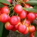 Self-fertile Cherry Trees