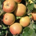 Apple Tree 'Christmas Pippin®'* (Late)