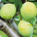 Plum Tree  'Coe's Golden Drop'