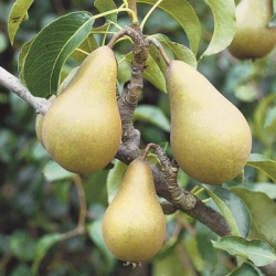 Pear 'Concorde'* (Late Season)