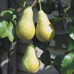 Pear 'Conference' (Late Season)