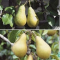 Duo-Minarette Pear Tree 'Conference/Concorde*'