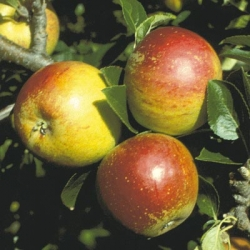 Minarette® Apple (Late) 'Cox' (self-fertile clone)