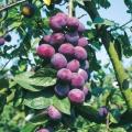 Plum Tree  'Czar'