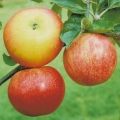 Apple Tree 'Discovery' (Early season)