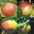 Family Apple Tree 'Bramley 20, Christmas Pippin® & Scrumptious®*'