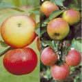 Family Fruit Trees (Bare-rooted)