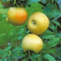 Minarette® Apple (Mid) 'Egremont Russet'
