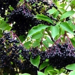 Hedging 'Elder' (pack of 10 plants)