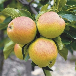 Minarette® Apple (Late) 'Falstaff'*