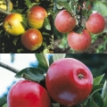 Family Apple Tree 'Cox, James Grieve & Katy'