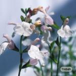 Salvia Collection (6 Plants)