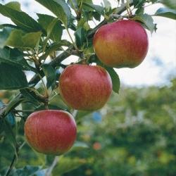 Apple Tree 'Gala' (Late season)