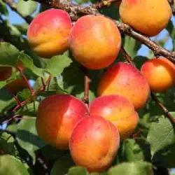 Apricot 'Goldcot®'*