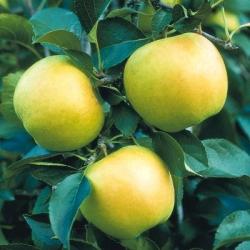 Minarette® Apple (Mid) 'Greensleeves'*