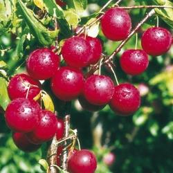 Cherry Plum 'Gypsy'