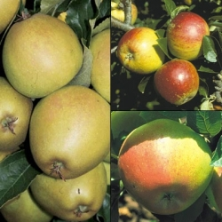 Family Apple Tree 'Herefordshire Russet®, Cox & Fiesta'