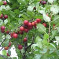 Hedging 'Cherry Plum' (pack of 10 plants)