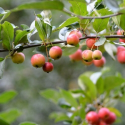 Hedging 'Crab Apple' - Malus sylvestris (Pack of 10 plants)