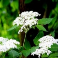 Hedging 'Elder' (pack of 10 plants)