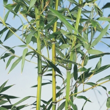 Bamboo & Hedging