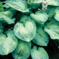 Hosta 'George Smith'