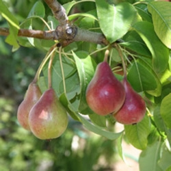 Hedging 'Pear' (pack of 10 plants)